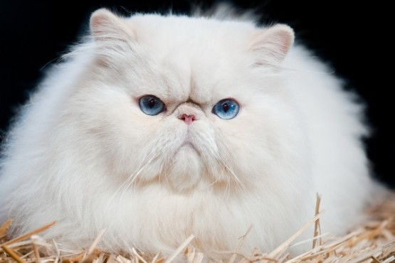 *** Fluffy White Cat *** Desktop Background